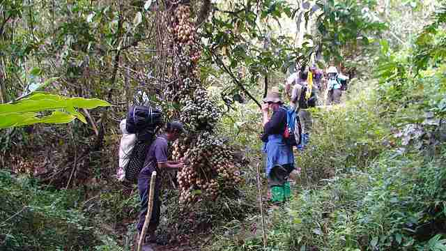 Baccaurea lanceolata atau pohon Kalampesu atau Lempaung atau Limpasu