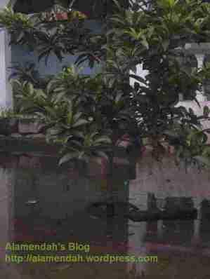 Pohon Sawo yang baru kutanam di halaman rumah diserang banjir