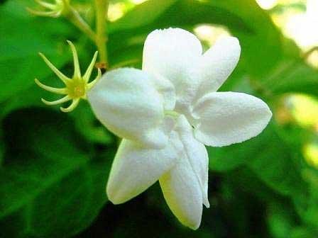 Unduh 97 Koleksi Gambar Gambar Bunga Melati Paling Cantik HD