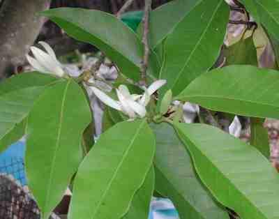 Gambar bunga Cempaka Putih (Michelia alba)