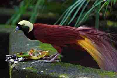 Cendrawasih Kuning Besar (Paradisaea apoda)