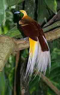 Cendrawasih Kuning Kecil (Paradisaea minor)