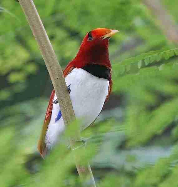 Burung Cendrawasih Burung Surga Bird Of Paradise Alamendah S Blog