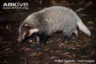 Pulusan, Babi Batang, Hog Badger, atau Arctonyx collaris