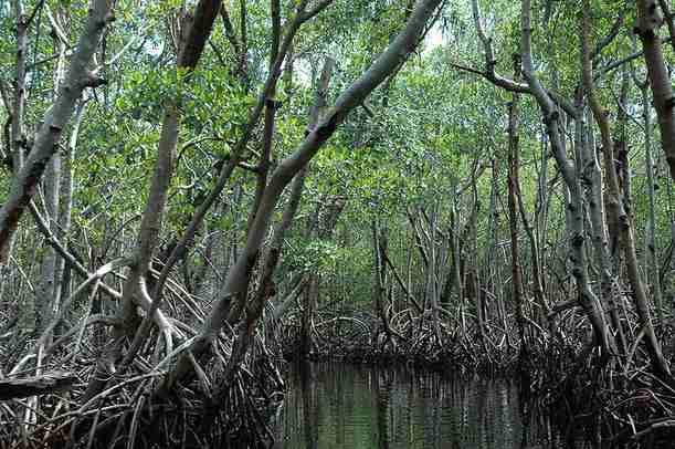 Hutan Bakau Hutan Mangrove Definisi Dan Fungsi Alamendah S Blog