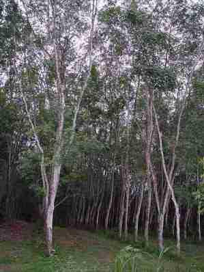 Gambar hutan Karet