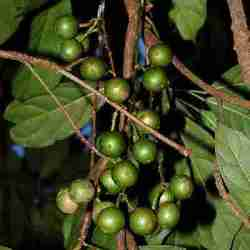Buah Menteng (Kepundung) muda di pohon