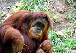Orangutan Sumatera (Pongo abelii)