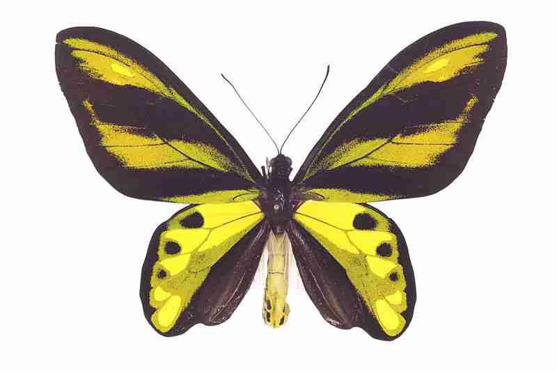 Ornithoptera chimaera