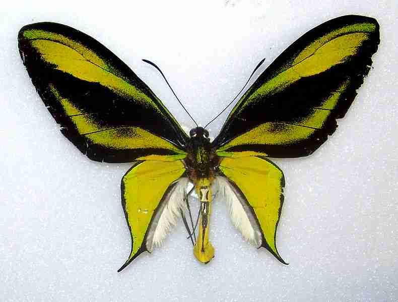 Kupu Ornithoptera paradisea