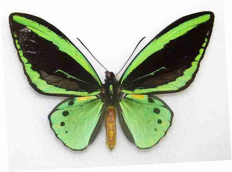 Gambar Ornithoptera priamus