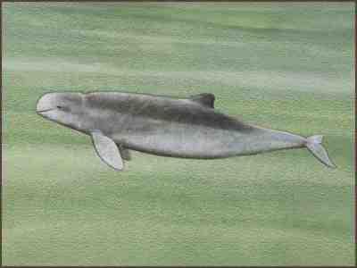 Pesut Mahakam, tinggal 70 ekor