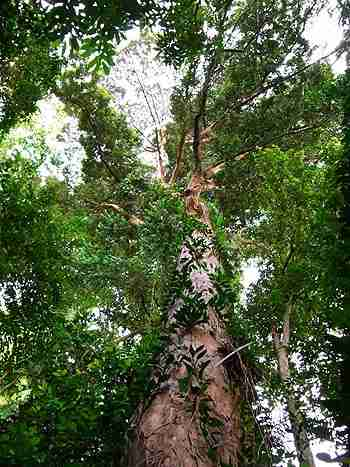 Pohon Kapur, salah satu pohon langka Indonesia