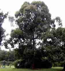 Pohon Kapur (Dryobalanops aromatica)