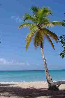 Gambar pohon Kelapa (Cocos nucifera)