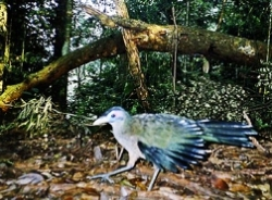 Burung Tokhtor Sumatera yang tertangkap camera trap
