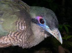 Burung Tokhtor Sumatera (Carpococcyx renauldi)