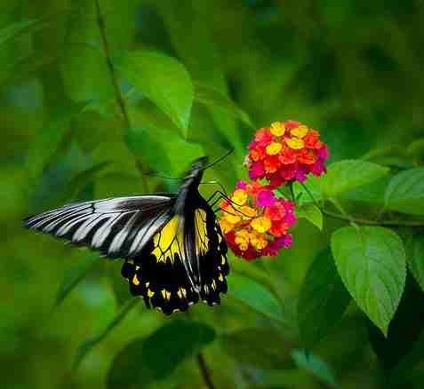 Troides andromache (Kupu-kupu Raja atau Borneo birdwing ). Terdapat di