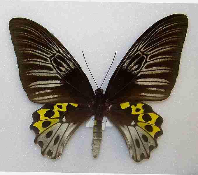 Kupu-kupu Troides hypolitus