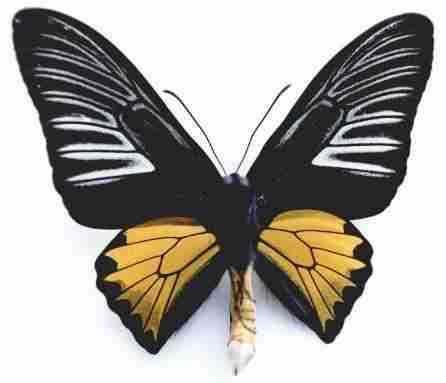Kupu-kupu Troides rhadamantus