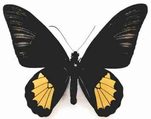 Kupu-kupu Troides riedeli