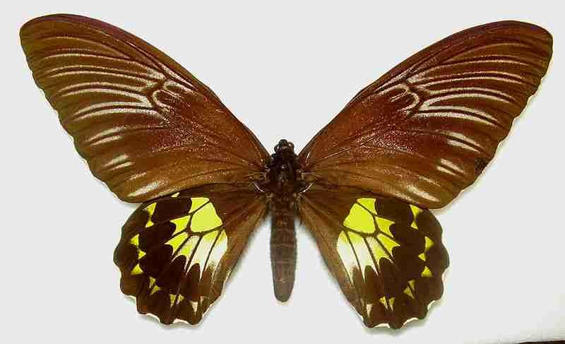 Kupu-kupu Troides vandepolli