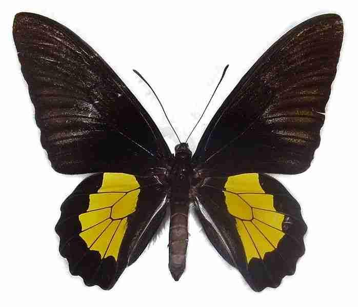 Kupu-kupu Troides plato