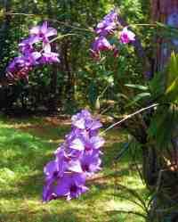 Anggrek Larat (Dendrobium phalaenopsis)