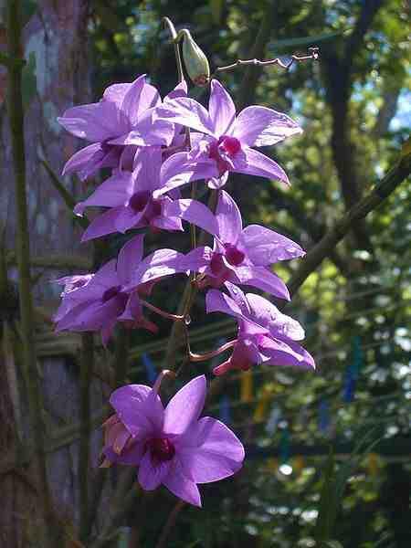 Anggrek Larat Dendrobium Phalaenopsis Anggrek Langka Dari Maluku Alamendah S Blog