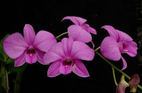 Anggrek Larat (Dendrobium bigibbum)