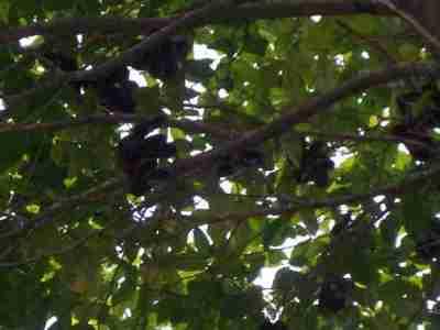 Pohon dan buah jengkol
