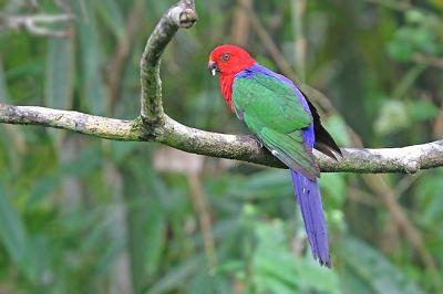 Burung Nuri Raja Ambon (Alisterus amboinensis)