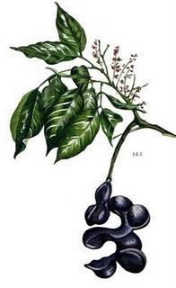Jengkol (Archidendron jiringa)