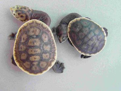 Kura-kura-Chelodina-parkeri