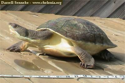 Kura-kura perut putih (Elseya branderhosti)
