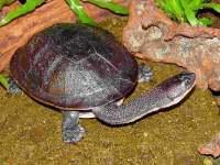 Kura-kura Rote