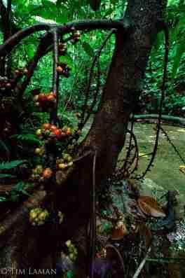 Pohon Langusei (Ficus minahassae)