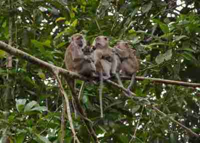 Sekelompok Monyet Ekor Panjang