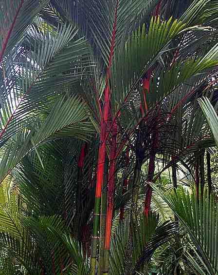 Palem Merah Pinang Merah (Cyrtostachys renda) Maskot Jambi