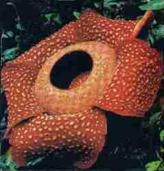 Bunga Rafflesia arnoldii