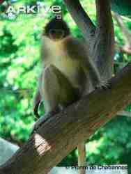 Surili Jawa (Presbytis comata)