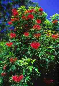 Kawoli atau Alloxylon brachycarpum