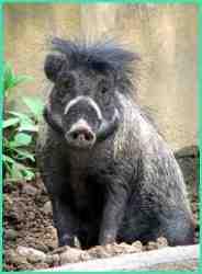 Babi kutil atau babi jawa (sus verrucosus)
