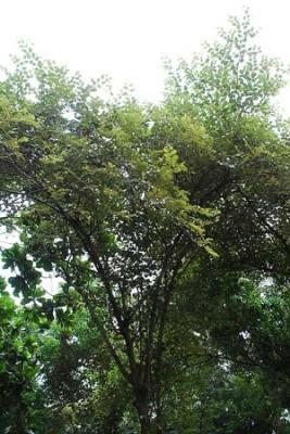Bidara (Ziziphus mauritiana)