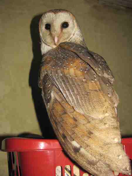 Celepuk Tyto alba