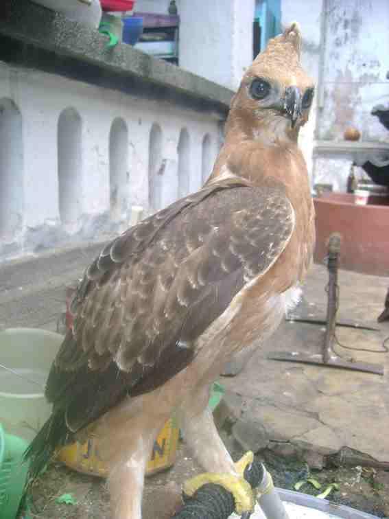 55 Foto Gambar Burung Elang Jambul  Paling Keren Gratis