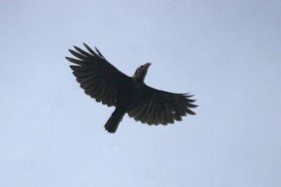 Burung Gagak Banggai (Corvus unicolor)
