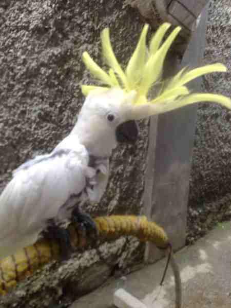 kakatua