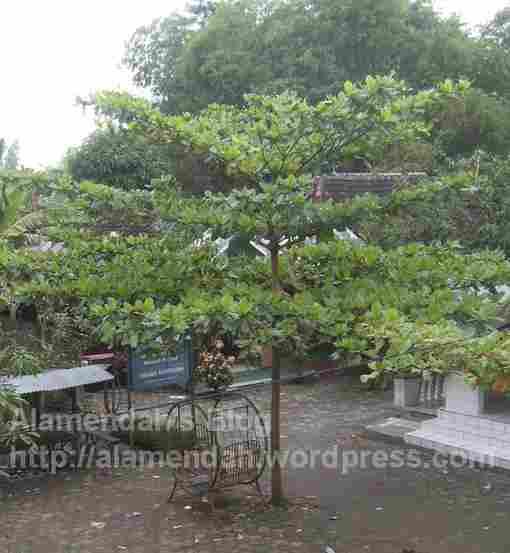 Pohon Ketapang atau Terminalia catappa | Alamendah's Blog