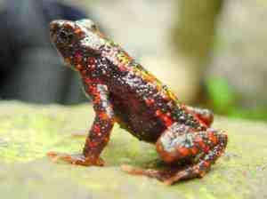 Katak Merah atau Katak Api Satwa Nasional 2011